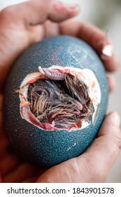 Newborn Emu in the egg