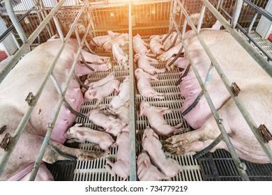 Newborn farrows eating sow's milk