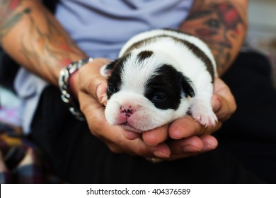 Newborn French Bulldog dog in the caring hands.