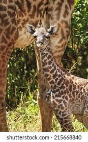 Newborn giraffe (Giraffa camelopardalis) with its mother in the background on the Maasai Mara National Reserve safari in southwestern Kenya.