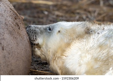 Newborn Grey Seal Pup with White fur Suckling from it's Mother