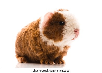 newborn guinea pig isolated on the white background