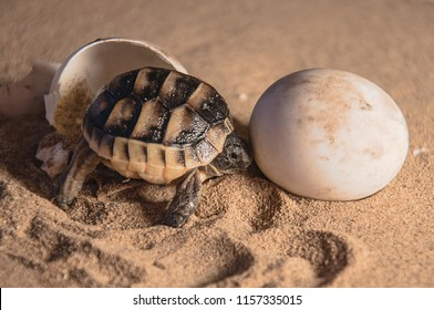 New-born hatching  common tortoise baby and egg on sand