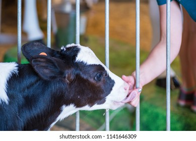 newborn holstein calf on display at county fair, child with hand out for a tender moment