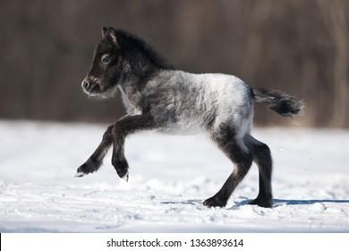 a newborn horse foal grey Appaloosa pony runs gallop on the winter field
