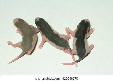 newborn husky rats