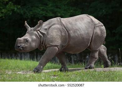 Newborn Indian rhinoceros (Rhinoceros unicornis).