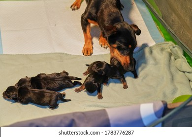Newborn jack russell terrier pups, mother takes puppy in mouth to move in a whelping box.