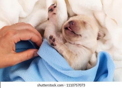 Newborn labrador puppy dog sleeping - woman hand adjust blanket, closeup