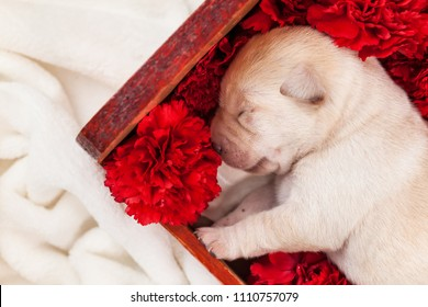 Newborn labrador puppy dog sleeping in wooden box with red carnation flowers - closeup
