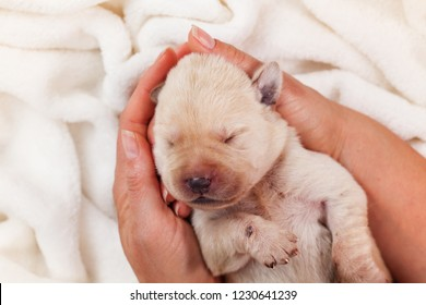 Newborn labrador puppy dog sleeping peacefully in woman palms - closeup, top view