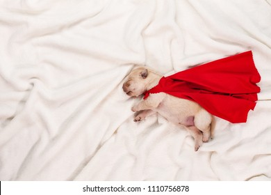 Newborn labrador puppy with red superhero cape sleeping on white blanket background - dream big concept