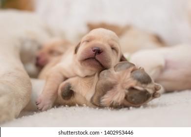 Newborn Labrador Retriever puppy sleeps on mother's paw
