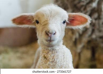 Newborn lamb in a barn.