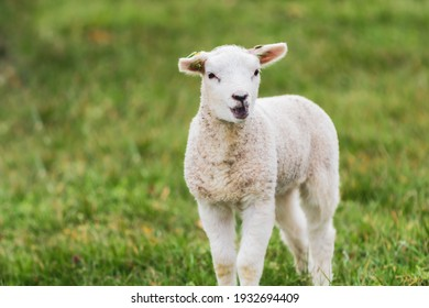 A newborn lamb in the meadow