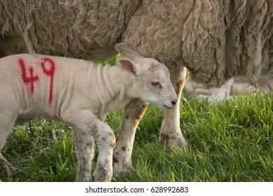 Newborn Lamb and its Mother