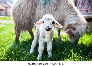 newborn lamb and sheep grazing
