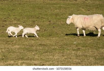 Newborn lambs with a ewe in a field near Spinningdale, Sutherland, Scotland, UK