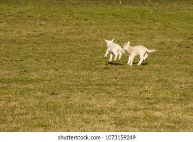 Newborn lambs play in a field near Spinningdale, Sutherland, Scotland, UK