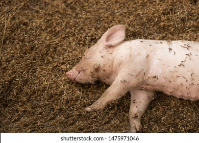 Newborn piglet lying on floor in organic rural farm agricultural