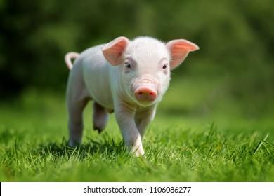 Newborn piglet on spring green grass on a farm