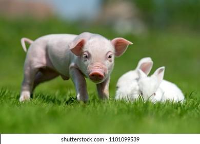 Newborn piglet and white rabbit on spring green grass on a farm
