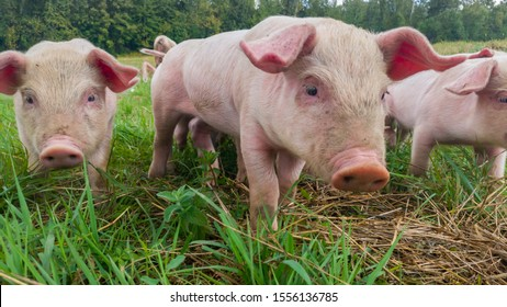 Newborn piglets in the meadow. Organic piggies on the organic rural  farm. Squeakers graze grass and plow the ground. Pigs in the pasture. - Image