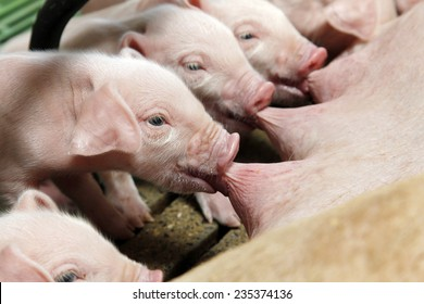 Newborn piglets suck the breasts of his mother