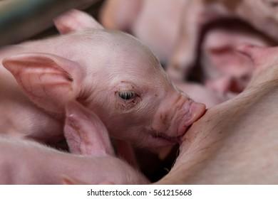 Newborn piglets sucking milk from a mother pig and then fell asleep