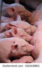 Newborn piglets suckling