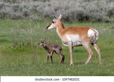 Newborn Pronghorn Antelope