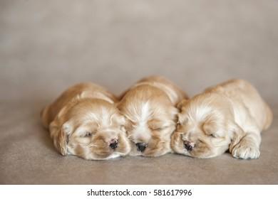 newborn puppies American Cocker Spaniel