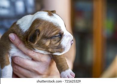 Newborn puppy, American Staffordshire Terrier