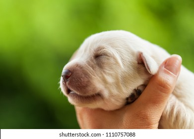 Newborn puppy dog head held in woman palm - closeup on blurry green background