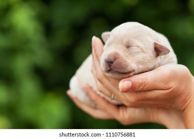Newborn puppy dog sleeping in woman palms - on blurry green background
