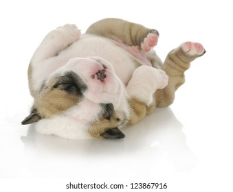 newborn puppy - english bulldog puppy - 3 weeks old