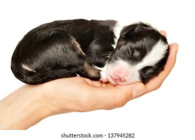 newborn puppy sleeping in one's hand