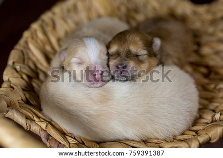 Newborn Puppy Spitz Pomeranian Babies Baskets Stock Photo Edit Now