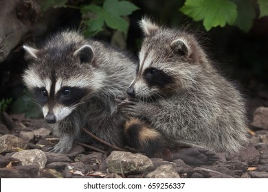 Newborn raccoon (Procyon lotor), also known as the North American raccoon.