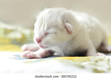 Newborn Ragdoll Kitten
