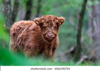 Newborn red highland calf at the Veluwe in The Netherlands