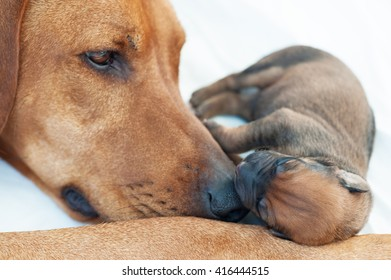 Newborn Rhodesian Ridgback whelp sleeping on mommies nose. It is a purebred South African hunting dog. It's remark is the ridge on the back with the fur growing in the opposite direction like normal.