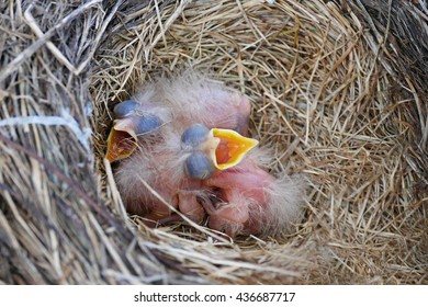 Newborn robins waiting for food with mouth open