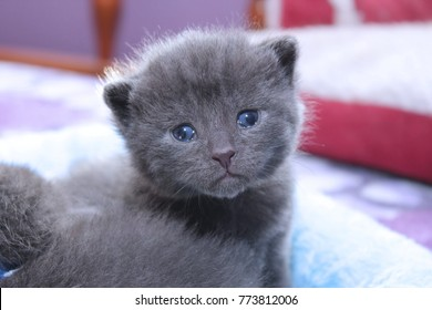 NEWBORN RUSSIAN BLUE KITTEN