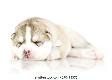 Newborn Siberian Husky puppy, age of 14 days