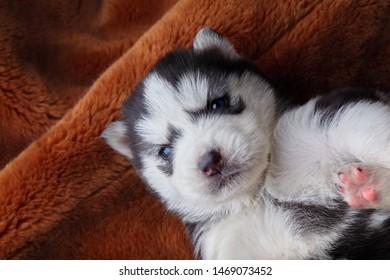 Newborn Siberian husky sleep.Puppy Siberian husky.Siberian husky copper color.Sleep on brown carpet.