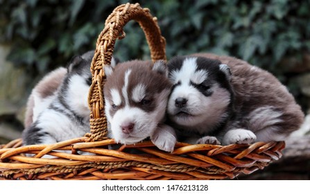 Newborn Siberian husky.Puppy Siberian husky.Siberian husky copper color.it sits in basket grass