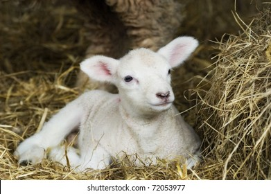 Newborn Spring Lamb laying in hay.
