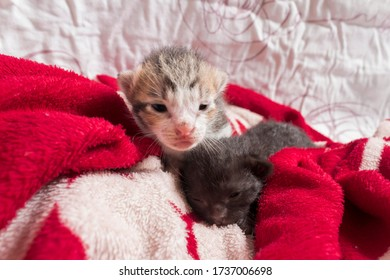 Newborn tabby kitten with his black sibling