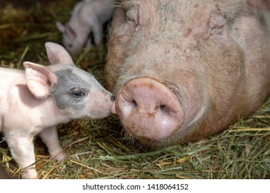 Newborn tiny pink cute piglet with mini nose kisses huge nose of mother pig who is lying flat on the floor in a stable on the straw.